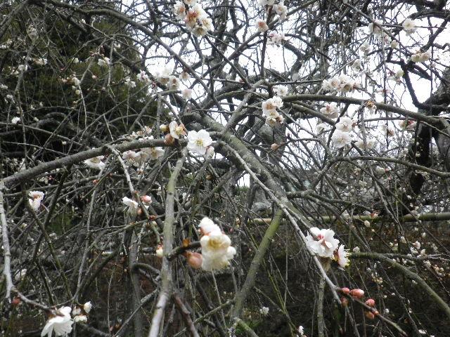 10-02b) 16.02.24 満開前で、私にとって見頃の梅 鎌倉「宝戒寺」。