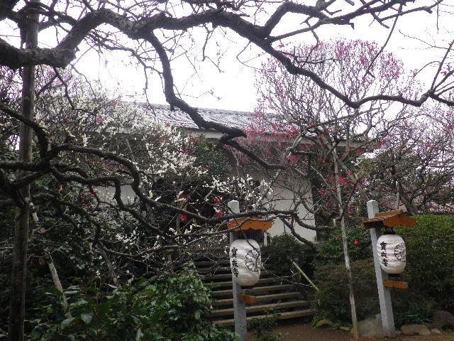 11-1) 16.02.24 満開前で、私にとって見頃の梅 鎌倉「宝戒寺」。
