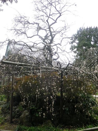 14) 16.02.24 満開前で、私にとって見頃の梅 鎌倉「宝戒寺」。
