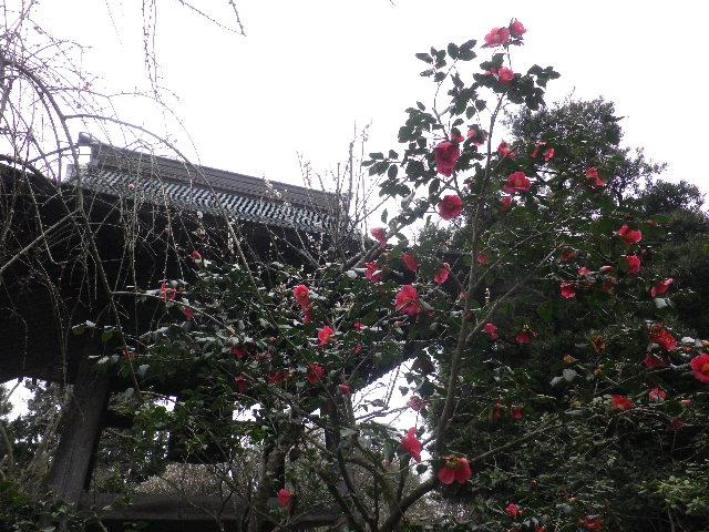 16) 16.02.24 満開前で、私にとって見頃の梅 鎌倉「宝戒寺」。