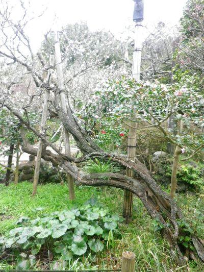 19) 16.02.24 満開前で、私にとって見頃の梅 鎌倉「宝戒寺」。