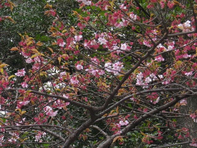 """04-2) """" 流鏑馬馬場道 """" 西の、すっかり葉が出揃ったヤマザクラ _ 16.02.24 雪が降りそうな日、立春を大きく過ぎたことに気づいた 鎌倉「鶴岡八幡宮」。"""