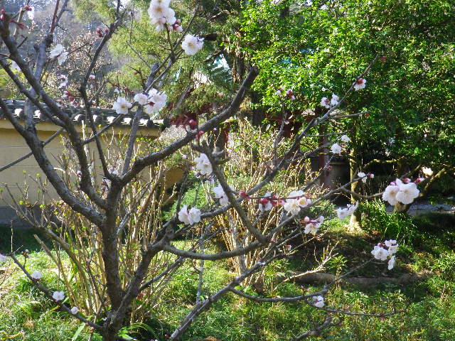 02-2)16.03.04 鎌倉「光則寺」梅が咲く頃
