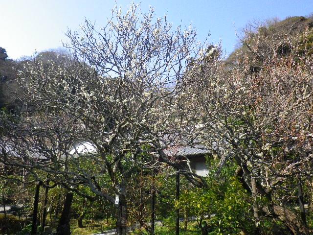 05-1) 16.03.04 鎌倉「光則寺」梅が咲く頃