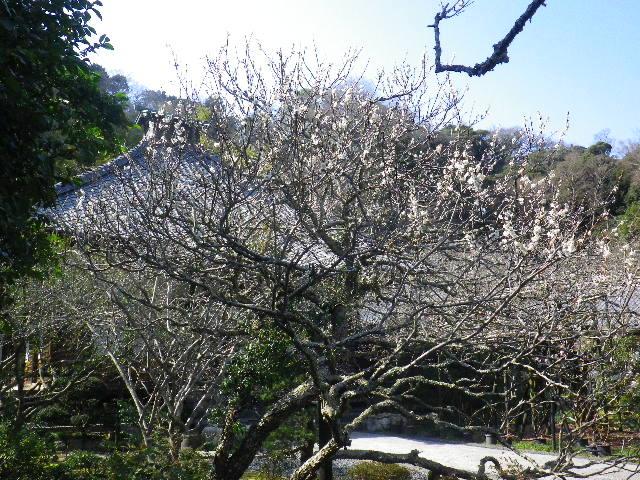 07-1) 16.03.04 鎌倉「光則寺」梅が咲く頃