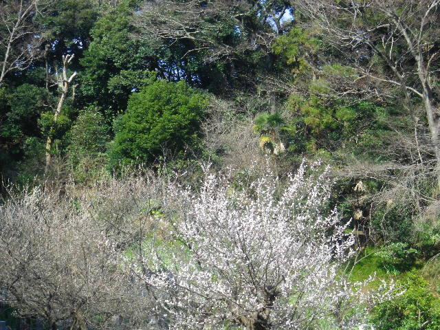 10-1) 16.03.04 鎌倉「光則寺」梅が咲く頃