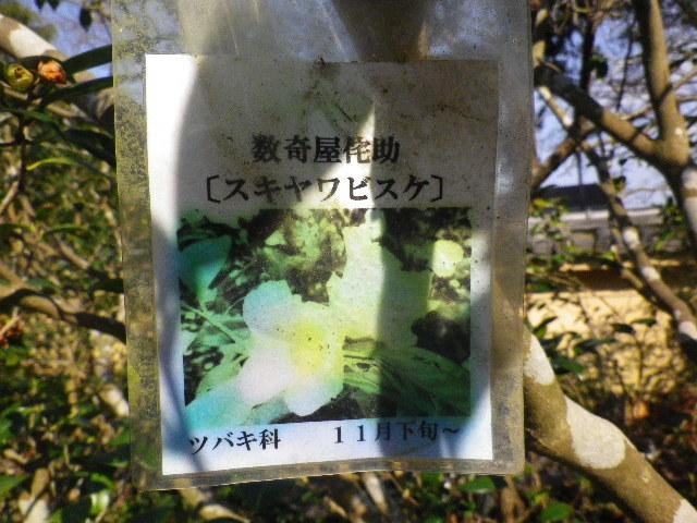 17-1) スキヤワビスケ/数寄屋侘助 _ 16.03.04 鎌倉「光則寺」梅が咲く頃