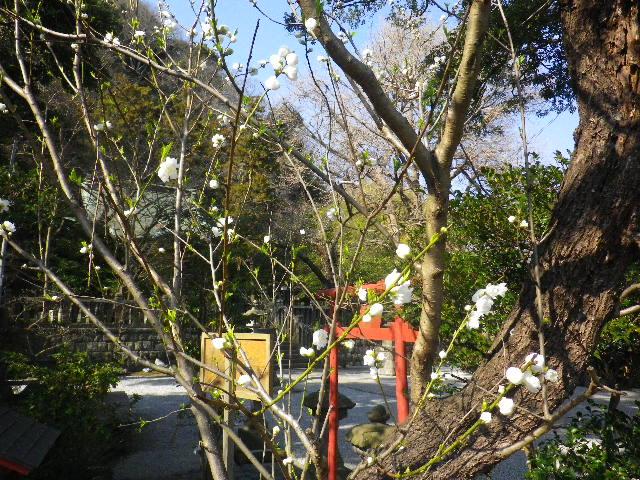 02-1) 線路際境内の梅 _ 16.03.04 鎌倉「御霊神社」の河津桜と若木の梅