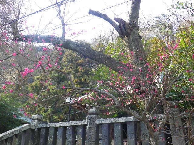 03-1) 社殿前階段下の紅梅 _ 16.03.04 鎌倉「御霊神社」の河津桜と若木の梅