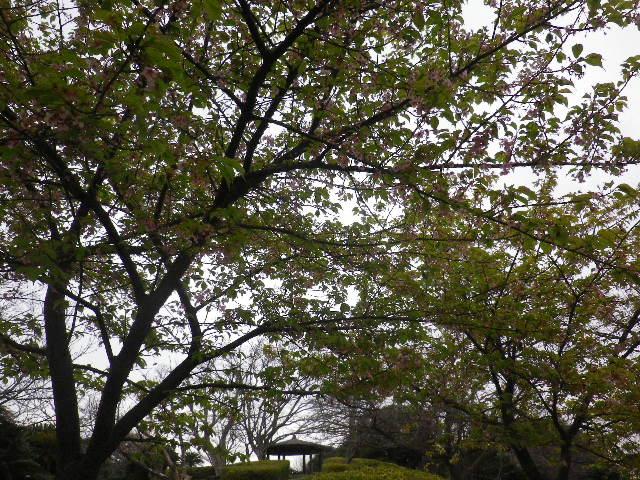 09-1) 引き返す途中で、写真08-7)奥の河津桜を撮ったつもり。  _ 16.03.06 曇りのち雨の逗子「大崎公園」