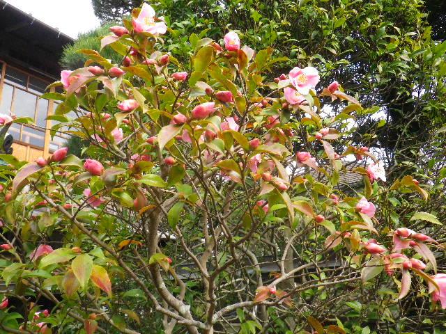 03-2) みなとのはる _ 16.03.12 鎌倉「大巧寺」種類豊富な椿が咲き揃い始める頃