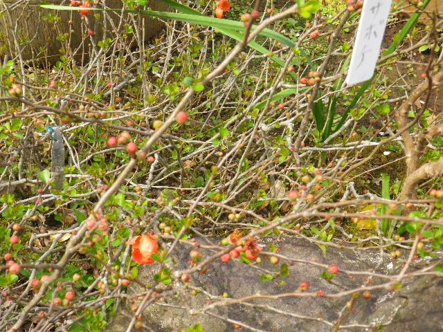 08-2) クサボケ  _ 16.03.12 鎌倉「大巧寺」種類豊富な椿が咲き揃い始める頃