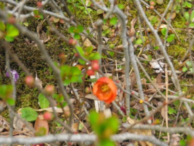 08-3) クサボケ  _ 16.03.12 鎌倉「大巧寺」種類豊富な椿が咲き揃い始める頃