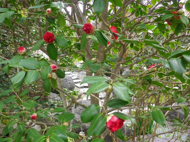09-2) 南蛮紅  _ 16.03.12 鎌倉「大巧寺」種類豊富な椿が咲き揃い始める頃
