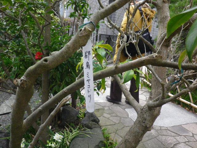 10-1) 都鳥/ミヤコドリ  _ 16.03.12 鎌倉「大巧寺」種類豊富な椿が咲き揃い始める頃