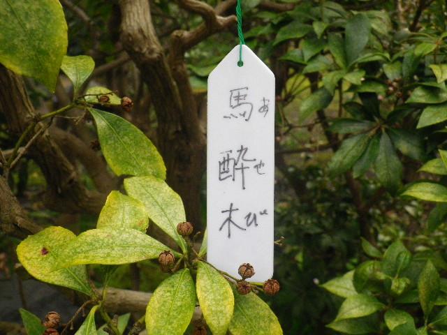 12-1) 馬酔木/あせび  _ 16.03.12 鎌倉「大巧寺」種類豊富な椿が咲き揃い始める頃