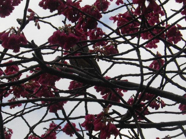 14-2) 緋寒桜  _ 16.03.12 鎌倉「大巧寺」種類豊富な椿が咲き揃い始める頃