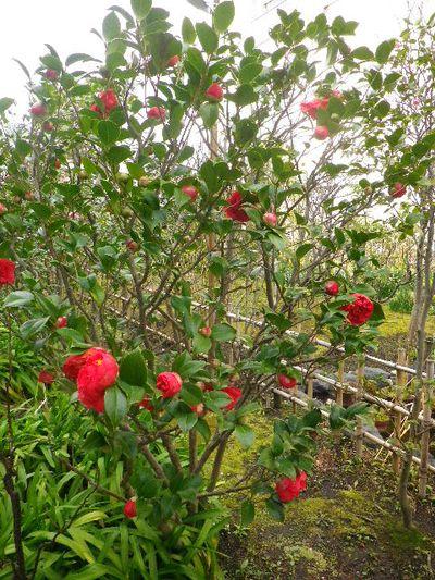 15-2) クラーマーズシュープリーム  _ 16.03.12 鎌倉「大巧寺」種類豊富な椿が咲き揃い始める頃