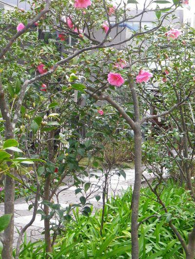 17-2) スタイニープリンセス  _ 16.03.12 鎌倉「大巧寺」種類豊富な椿が咲き揃い始める頃