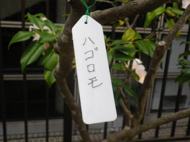 21-1) ハゴロモ  _ 16.03.12 鎌倉「大巧寺」種類豊富な椿が咲き揃い始める頃