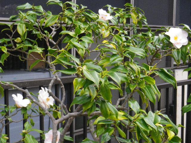 21-2) ハゴロモ  _ 16.03.12 鎌倉「大巧寺」種類豊富な椿が咲き揃い始める頃