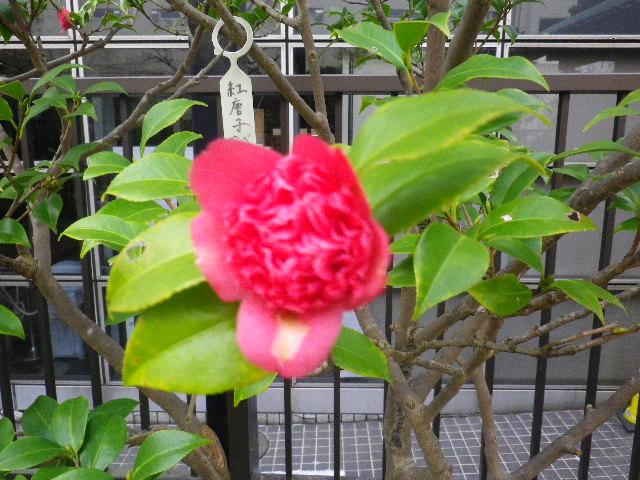 23-2) 紅唐子/べにからこ  _ 16.03.12 鎌倉「大巧寺」種類豊富な椿が咲き揃い始める頃