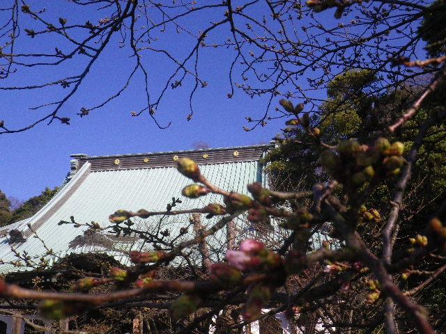 03-1)  16.03.21 鎌倉「光明寺」開花寸前、桜の蕾。