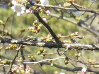 04-4)  16.03.21 鎌倉「光明寺」開花寸前、桜の蕾。