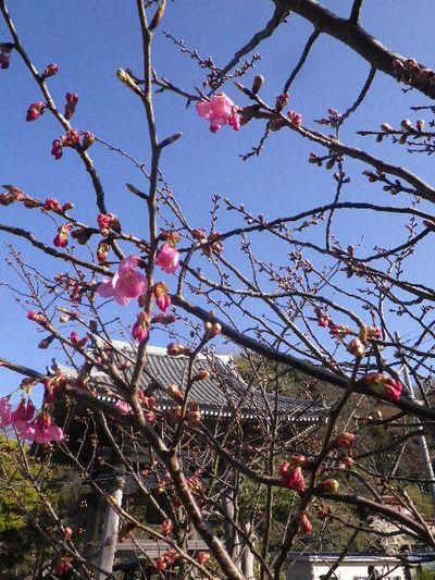 05-1)  16.03.21 鎌倉「光明寺」開花寸前、桜の蕾。