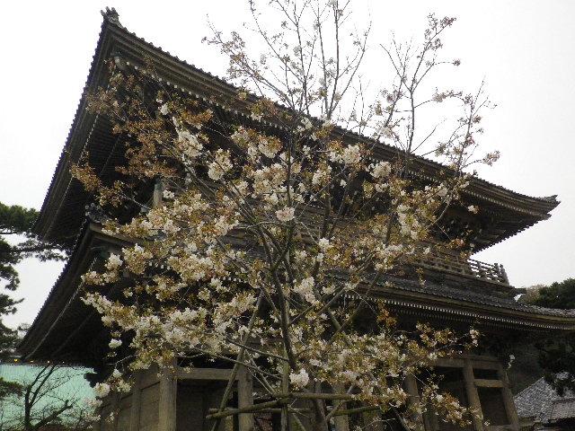 01-1) 山門前 _ 16.03.30 鎌倉「光明寺」五分咲きで、散りそうなのをハラハラせずに観桜を楽しむ頃。