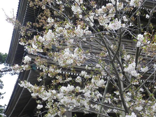 01-2) 山門前 _ 16.03.30 鎌倉「光明寺」五分咲きで、散りそうなのをハラハラせずに観桜を楽しむ頃。