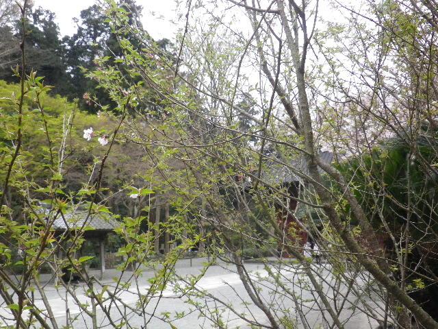 03-1) 名を知らぬ早咲き種の桜 _ 16.03.30 鎌倉「妙本寺」の桜。 早!海道も咲いている。