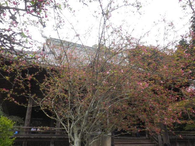04-1) ' 祖師堂 ' 前の海棠 _  _ 16.03.30 鎌倉「妙本寺」の桜。 早!海棠も咲いている。
