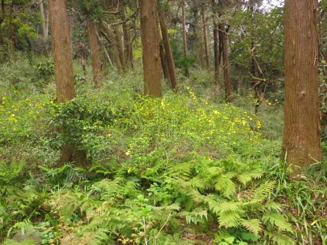 06-1) 杉木立に群生する、他所庭園で頻繁に見る花 ・・・ ・・・ ・・・ ・・・ でも 名を覚えようとしないので、写真整理時のキャプションが書けない。 _ 16.03.30 鎌倉「妙本寺」の