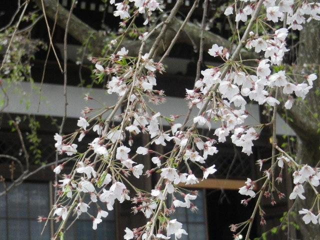 01-2) ' 本堂 ' 右側面方向 _ 16.03.30 鎌倉「本覚寺」の枝垂れ桜