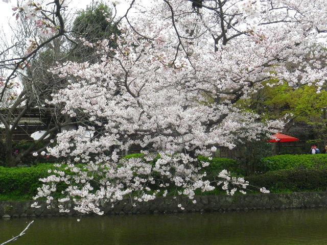 17) 源氏池周囲の桜 _ 16.04.02 鎌倉「鶴岡八幡宮」桜満開の頃