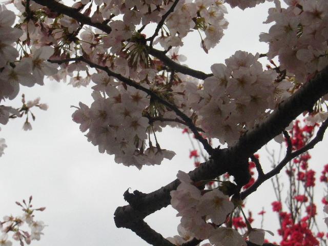 02-1) 石柱周辺のソメイヨシノ _ 16.04.02 鎌倉「向福寺」桜の花と桃の花