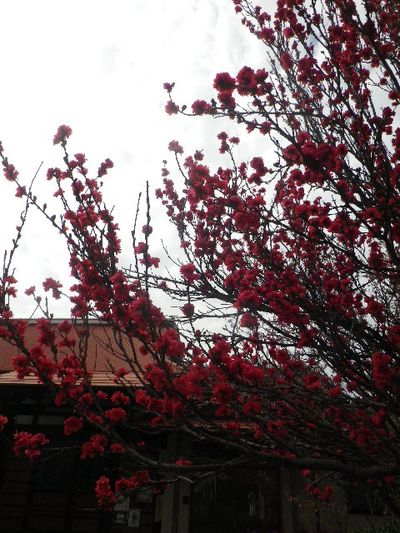 04-1) ハナモモ _ 16.04.02 鎌倉「向福寺」桜の花と桃の花