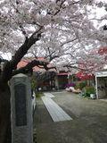 01) 石柱周辺のソメイヨシノ _ 16.04.02 鎌倉「向福寺」桜の花と桃の花
