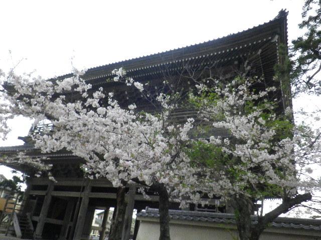 04) 山門を潜ってからの境内から _ 16.04.08 鎌倉「光明寺」前日の風雨に耐え、文字通り灌仏会に花を添えた桜の老木。