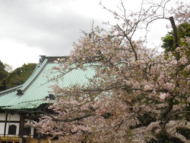 06) 大殿を背景に境内右側の桜 _ 16.04.08 鎌倉「光明寺」前日の風雨に耐え、文字通り灌仏会に花を添えた桜の老木。