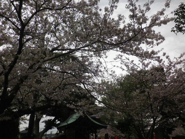 09) 延命地蔵尊周辺から、秋葉大権現方向の桜。 _ 16.04.08 鎌倉「光明寺」前日の風雨に耐え、文字通り灌仏会に花を添えた桜の老木。