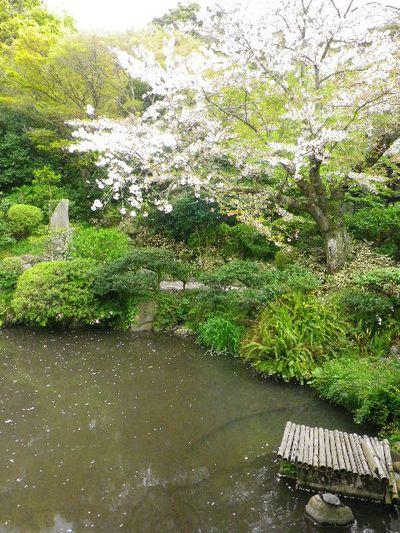 14) 記主庭園 _ 16.04.08 鎌倉「光明寺」前日の風雨に耐え、文字通り灌仏会に花を添えた桜の老木。
