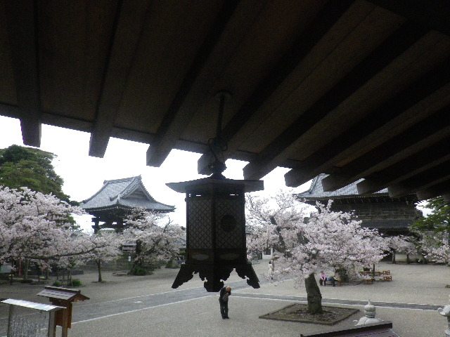 16) 渡り廊下から、鐘楼と山門方向 _ 16.04.08 鎌倉「光明寺」前日の風雨に耐え、文字通り灌仏会に花を添えた桜の老木。