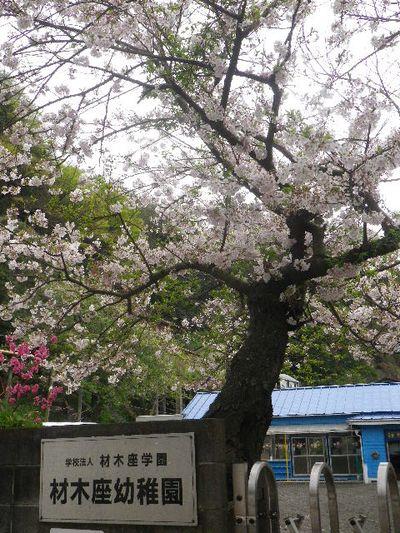 01)   16.04.08 或る幼稚園の塀越しに見た桜。赤いのは緋桃の花か? _ 鎌倉市材木座