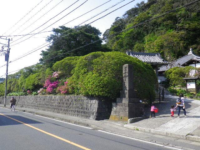 01-1) 16.04.20 鎌倉「安養院」最盛期は黄金週間頃だけど、先走ってツツジを偵察。