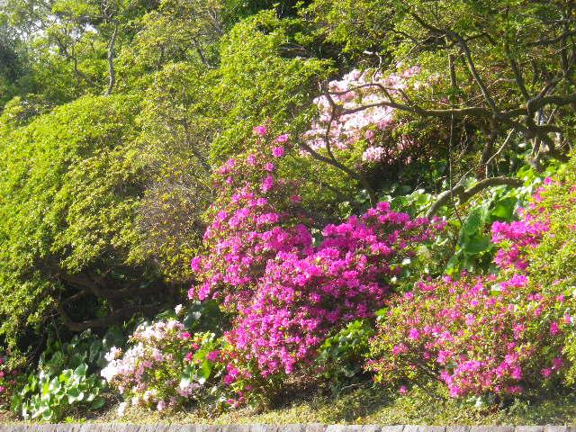 01-2) 16.04.20 鎌倉「安養院」最盛期は黄金週間頃だけど、先走ってツツジを偵察。