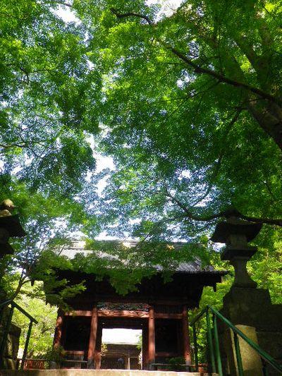"""01) """" 二天門 """" _ 16.04.20 鎌倉「妙本寺」シャガの花と八重桜"""