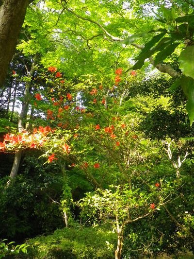 05) 池周辺の赤い花。 ツツジの一種か? _ 16.04.20 鎌倉「妙本寺」シャガの花と八重桜
