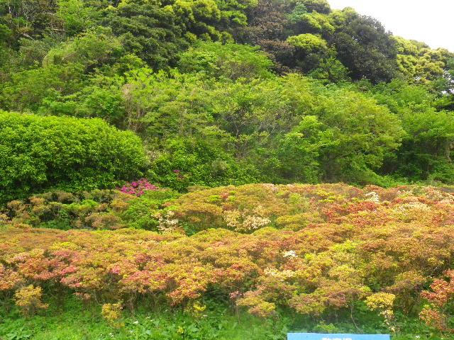01) 16.04.27 葉山「花の木公園」のツツジを観に行った!・・・ ・・・ ・・・ ・・・のだけれども、遥か前に咲き終わって ' 花殻の絨毯 ' ?だった。 アワワワワ 嗚呼